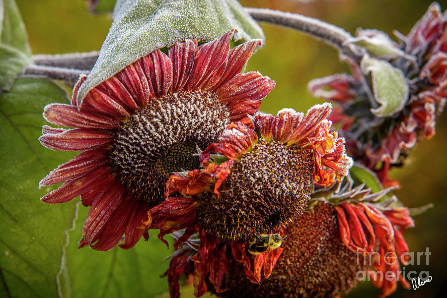 Bee And Red Sunflowers Photograph