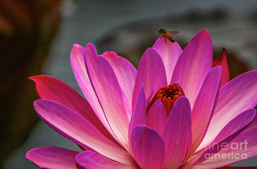 Bee and Water Lily by Tom Claud