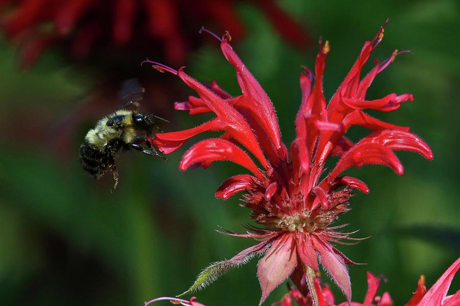 Bee Buzzing Bee Balm by Brook Burling