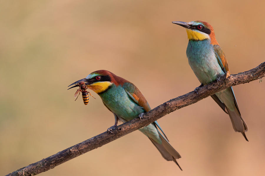 Bee-eater Photograph - Bee-eater by Paolo Bolla
