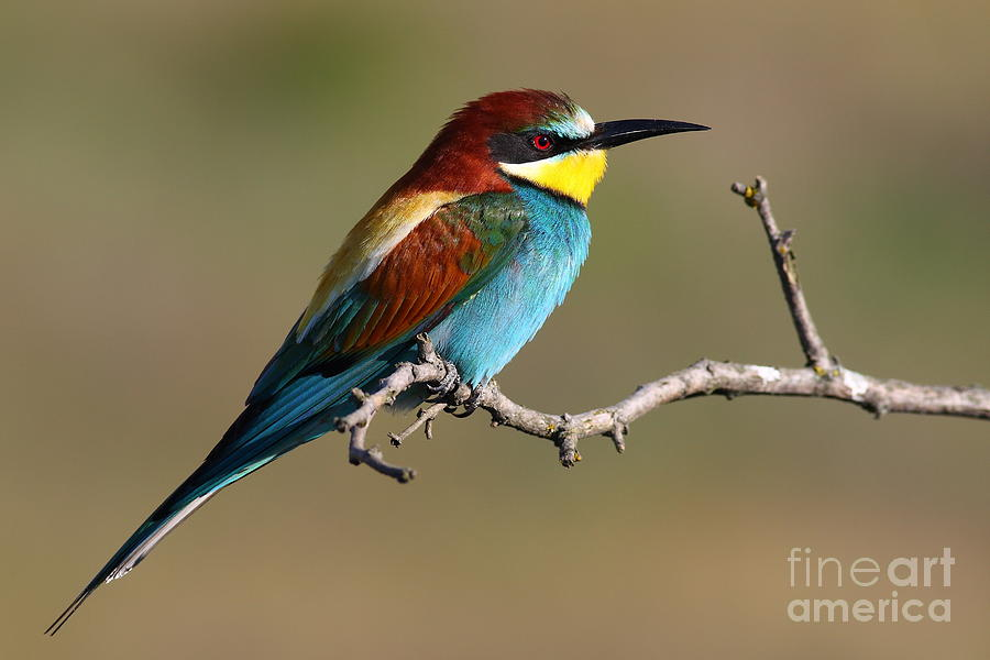 Forest Photograph - Bee Eater by Peter Gyure