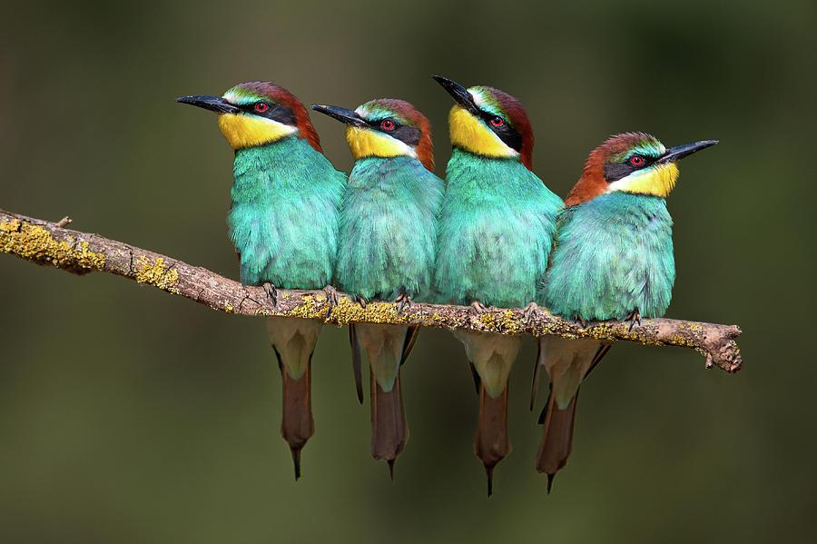 Bird Photograph - Bee-eater Resting by Xavier Ortega
