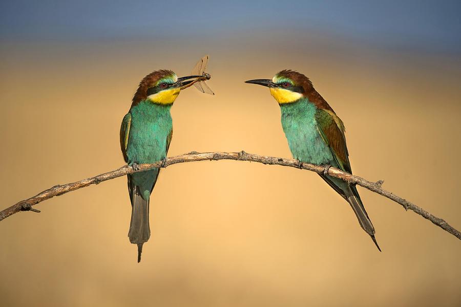 Bee-eater Photograph - Bee-eater by Xavier Ortega