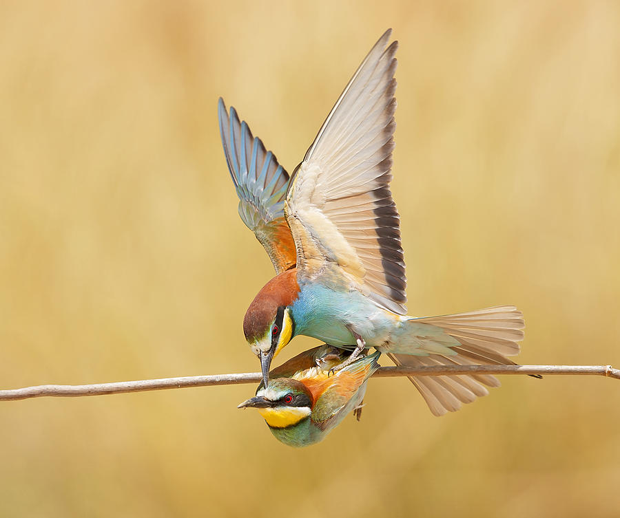 Bee Photograph - Bee-eaters Love by Shlomo Waldmann