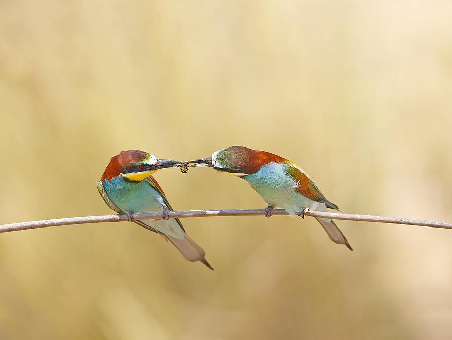 Bee-eater Photograph - Bee-eaters by Shlomo Waldmann