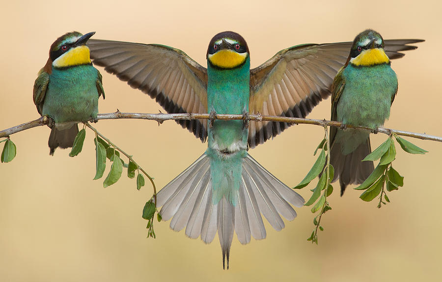 Bee-eater Photograph - Bee-eaters Trio by Eliran Sagie