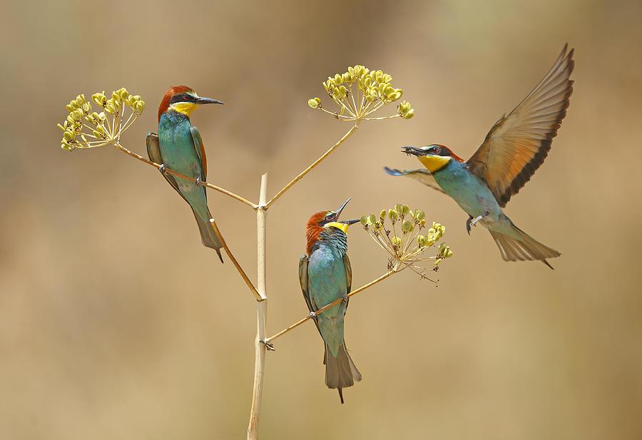 Bee Photograph - Bee-eaters - Who Will Earn The Bee... by Shlomo Waldmann