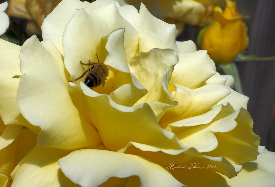 Bee Golden Rose by Richard Thomas