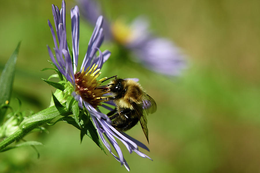 Bee Photograph - Bee In Aster by Paul Freidlund