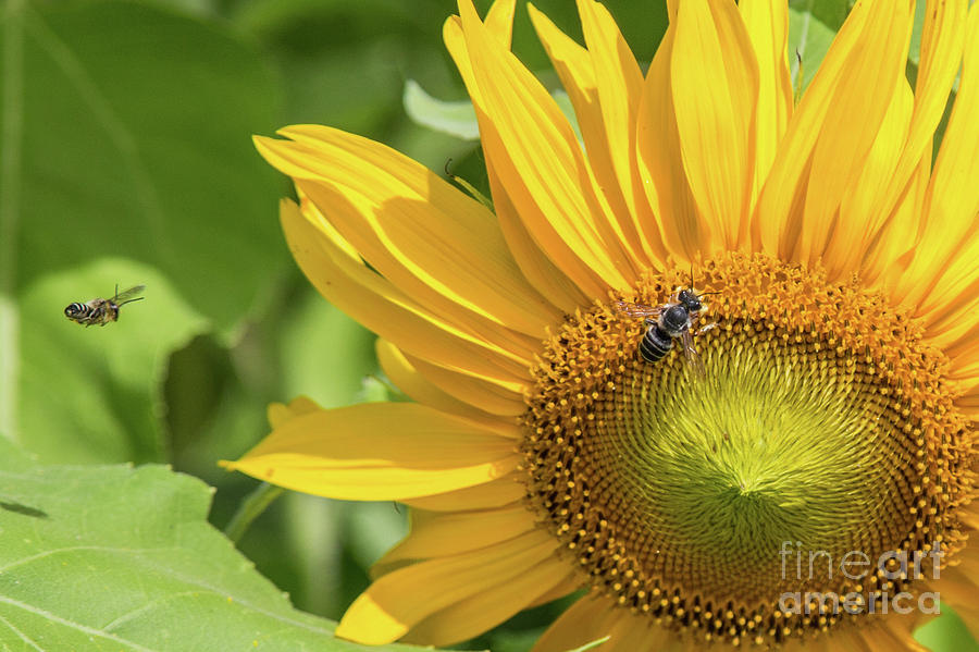 Bee Line to the Sunflower by Lisa Lemmons-Powers