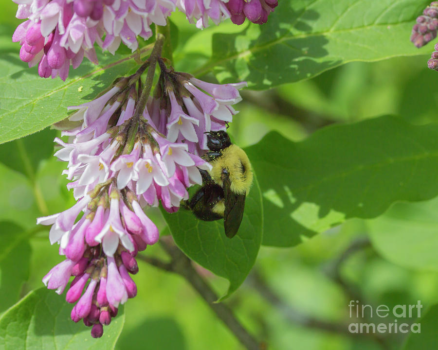 Bee on a lilac by Agnes Caruso