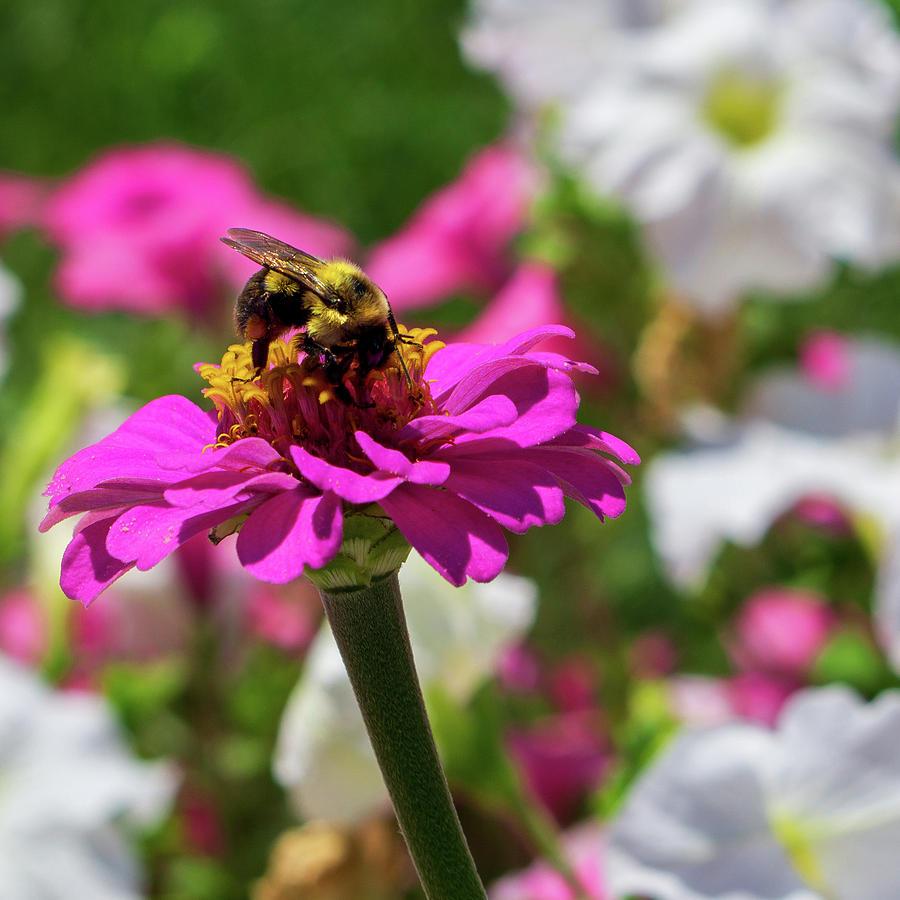 Bee on a Pink Zinnia by Jason Fink