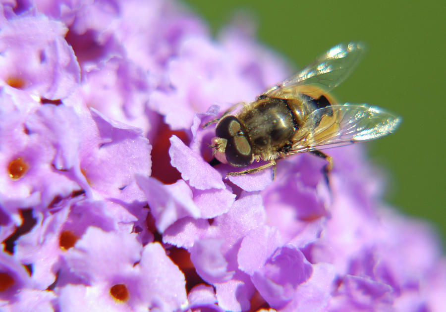 Hoverfly On A Purple Flower Photograph