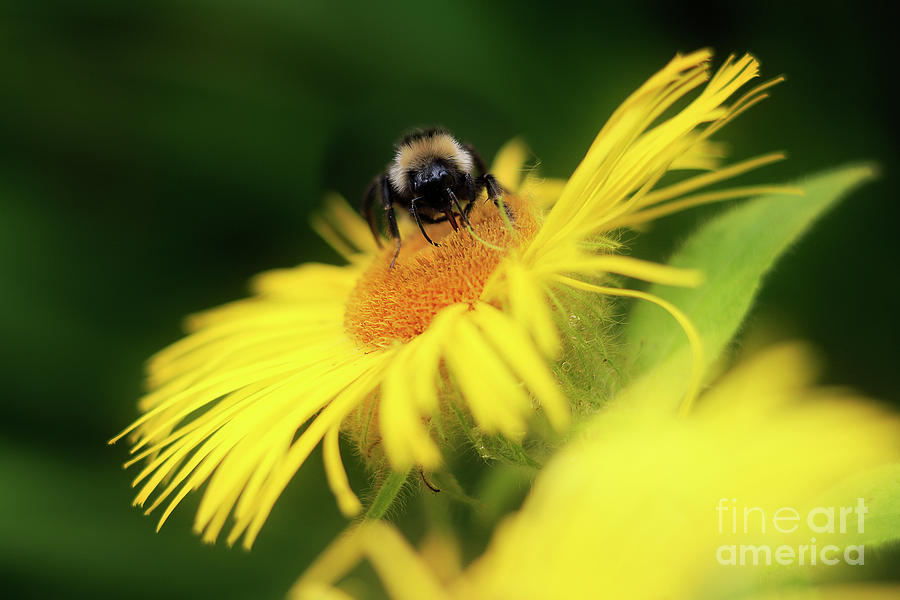 Bee On A Yellow Flower Photograph