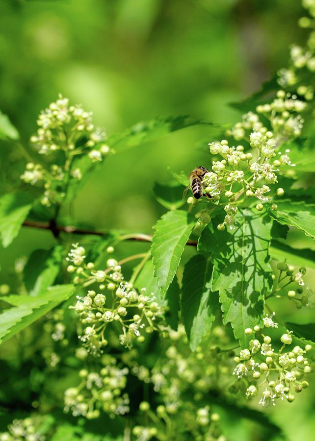 Bee on Amur Maple 1 by Dave Matchett