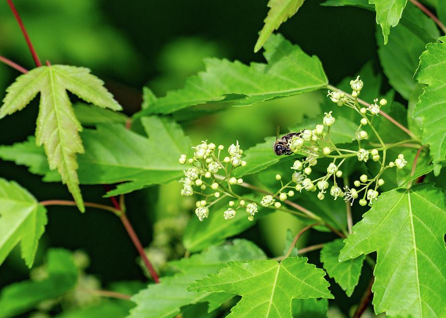 Bee on Amur Maple 2 by Dave Matchett