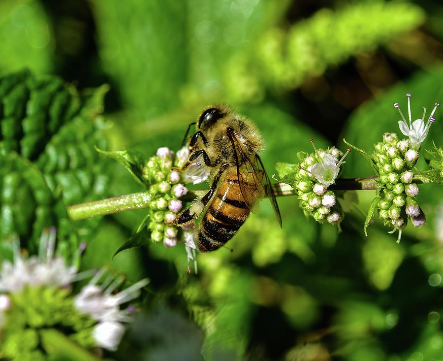 Bee on Blooming White Spike Flowers 1 by Linda Brody