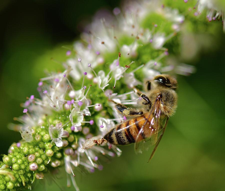 Bee on Blooming White Spike Flowers 2 by Linda Brody