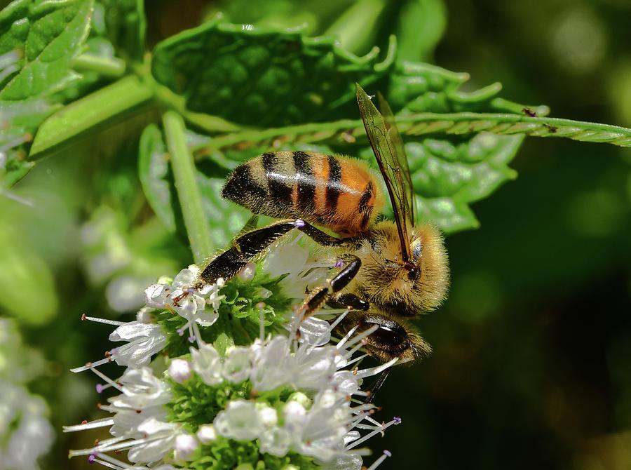 Bee on Blooming White Spike Flowers 3  by Linda Brody