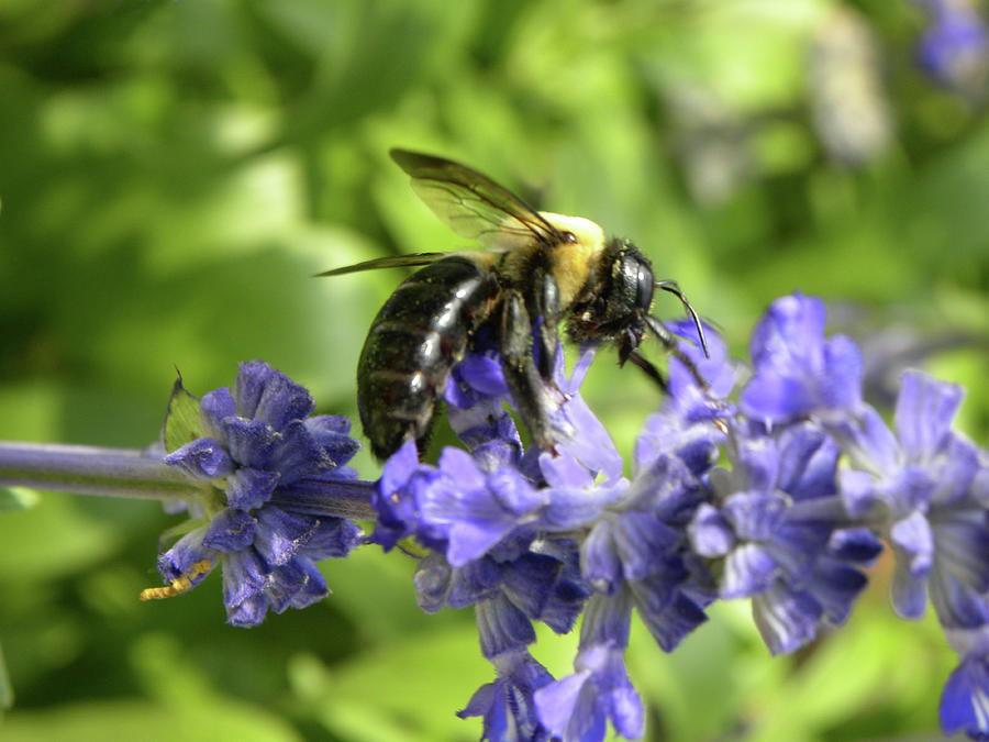 Bee On Blue Indigo Macro by Sandi OReilly