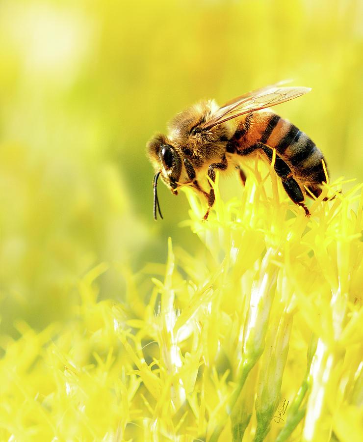 Bee on Flower by Judi Dressler