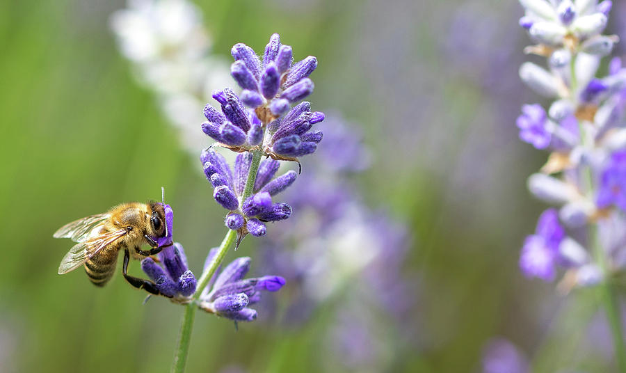 Bee Photograph - Bee on Lavender by Rebecca Cozart