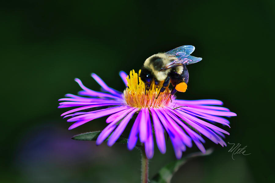Bee On Purple Aster by Meta Gatschenberger