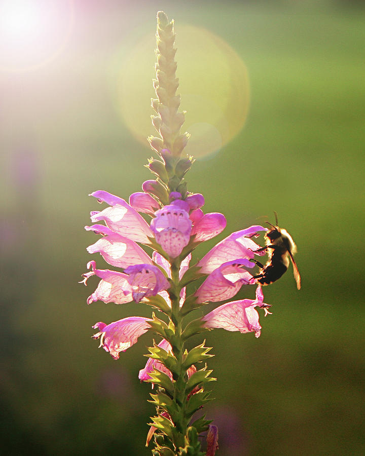 Bee On Purple Flower Photograph by Alissa Sanderson