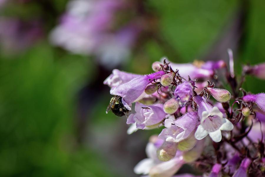 Bee on Purple Flowers by Angel Sharum