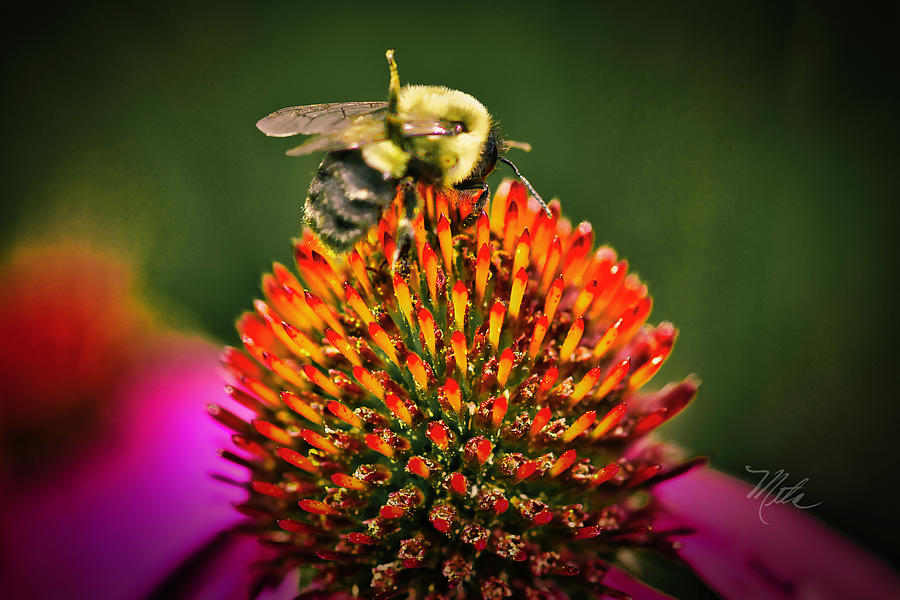 Bee On Red Cone Flower by Meta Gatschenberger