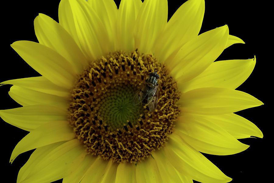 Bee On Sunflower 4170 by Cathy Kovarik