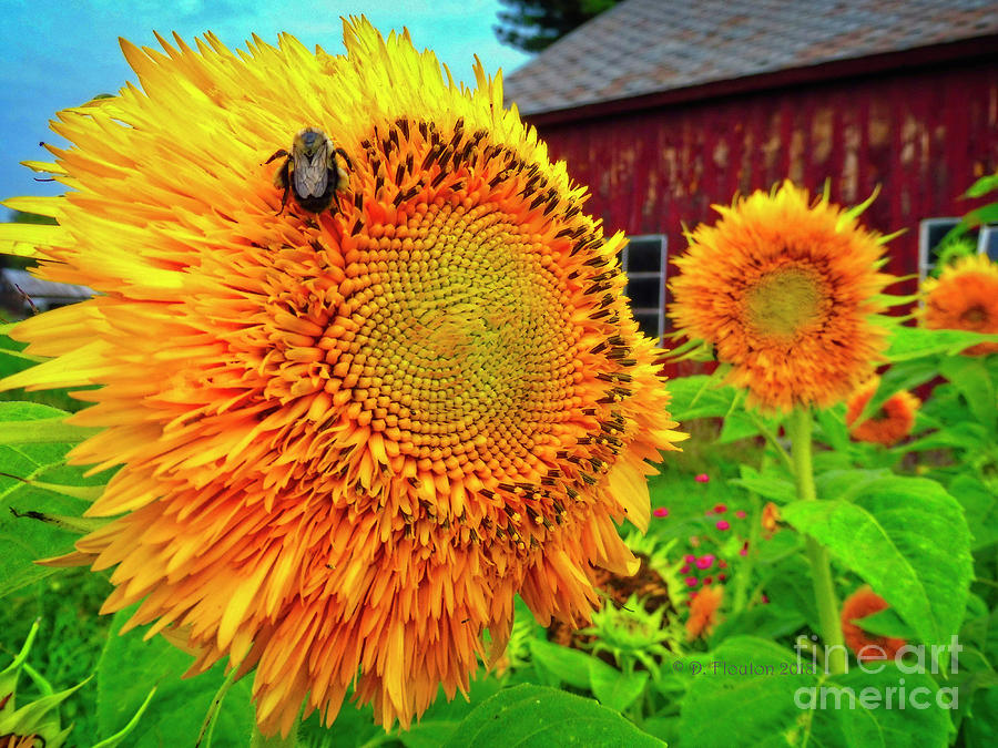 Bee on Sunflower by Dee Flouton