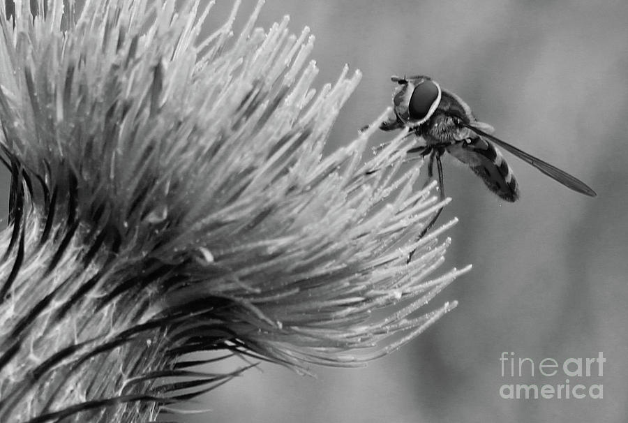 Bee on Thistle bw Donegal Ireland by Eddie Barron