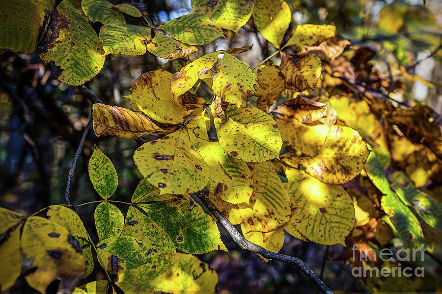 Beech Leaves by James Foshee