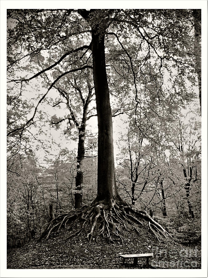 Beech Tree in Black and White by Jurgen Huibers