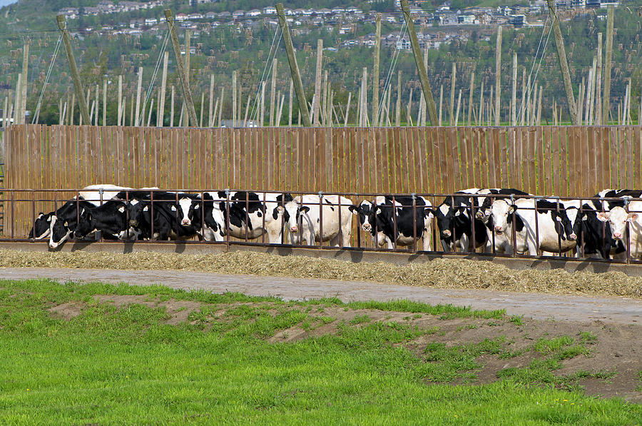 Beef Cattle Feeding on Hay by Sharon Talson