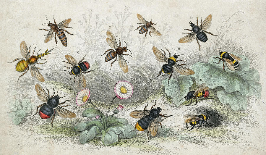 Bees In Colour Photograph by Hulton Archive