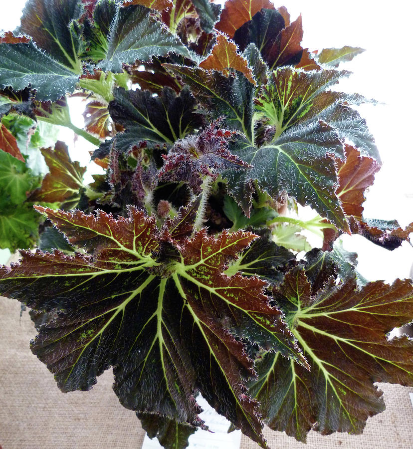 Begonia 'Palomar Prince' by Toni Leland