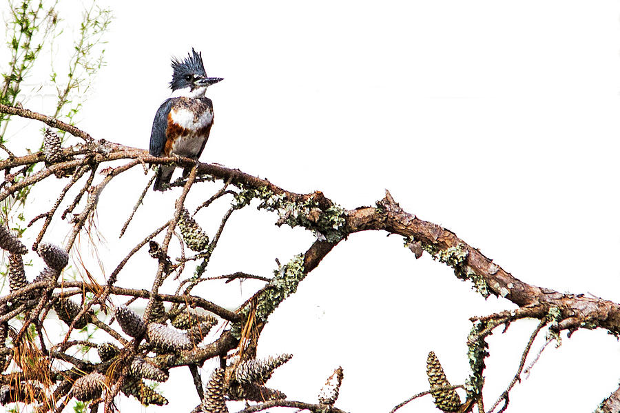 Belted Kingfisher by Bob Decker