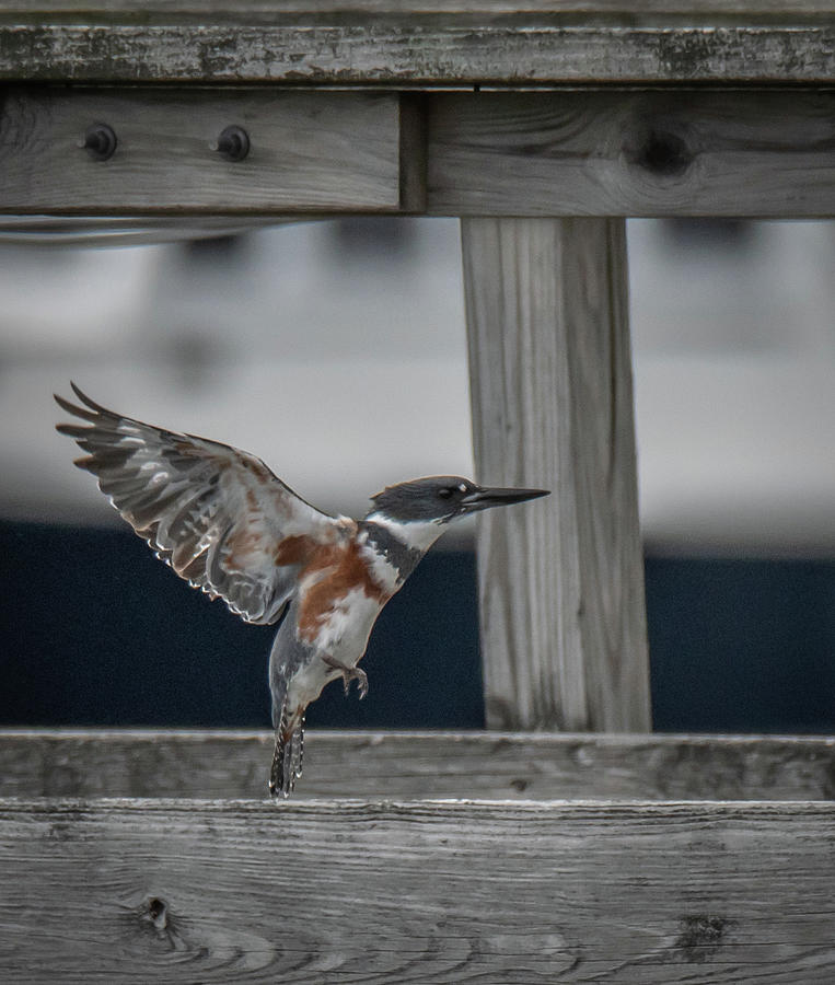 Belted Kingfisher lifting up by Hershey Art Images