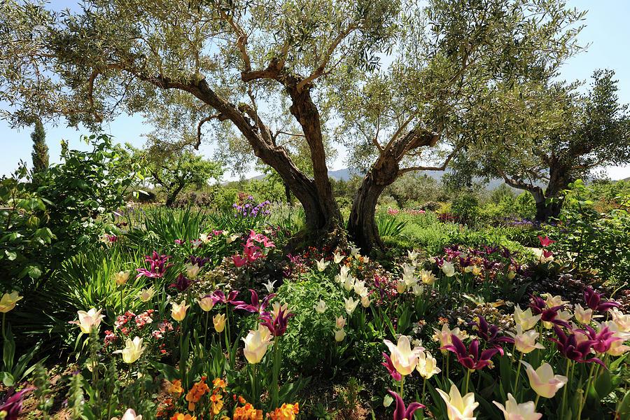 Beneath The Olive Tree, Marnes, Spain Photograph by Josie Elias