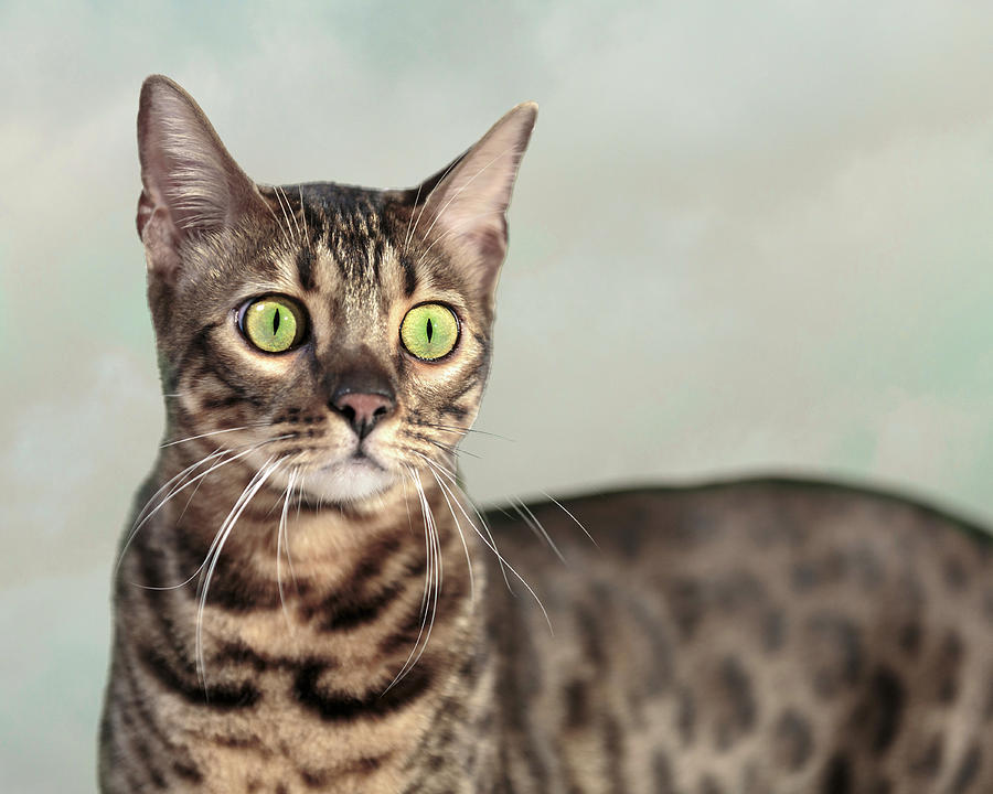 Bengal Cat Portrait by Wes and Dotty Weber