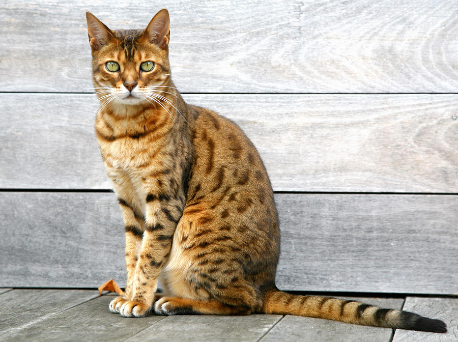 Bengal Cat Sitting On Weathered Deck Photograph by Itsabreeze Photography