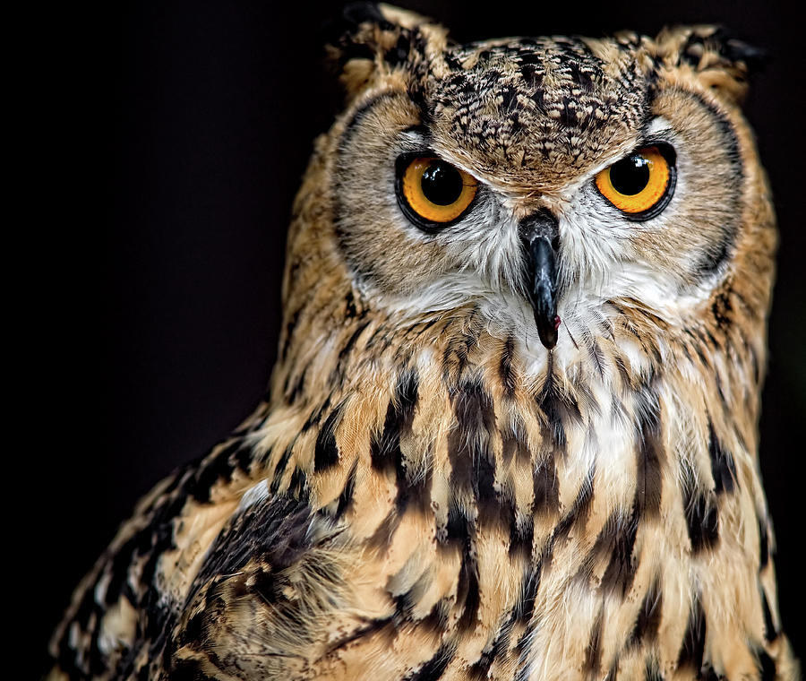 Bengal Eagle Owl Stare Photograph by Andrew Jk Tan