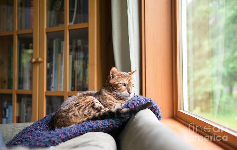 Young Photograph - Bengal Mix Cat Relaxing On Indigo Blue by Anna Hoychuk