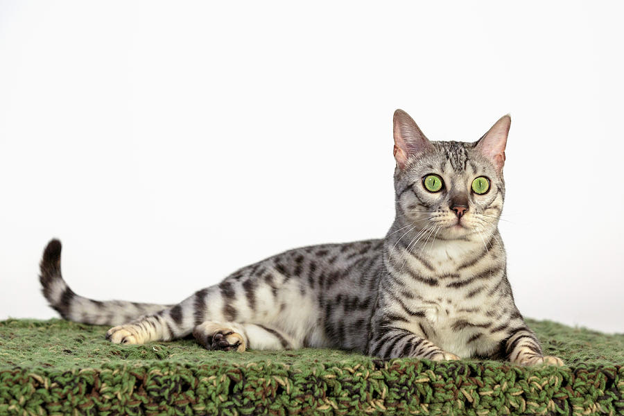 Bengal Photoshoot by Wes and Dotty Weber