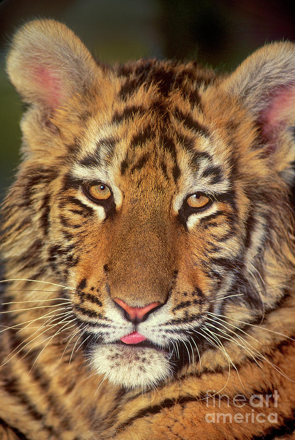 bengal tiger cub wildlife rescue by Dave Welling
