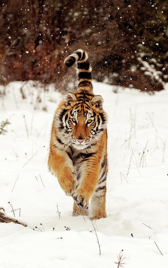 Bengal Tiger Photograph by Donald A Higgs