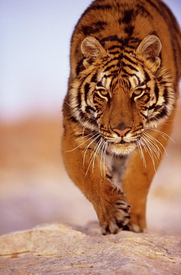 Bengal Tiger Panthera Tigris, Close-up Photograph by John Giustina