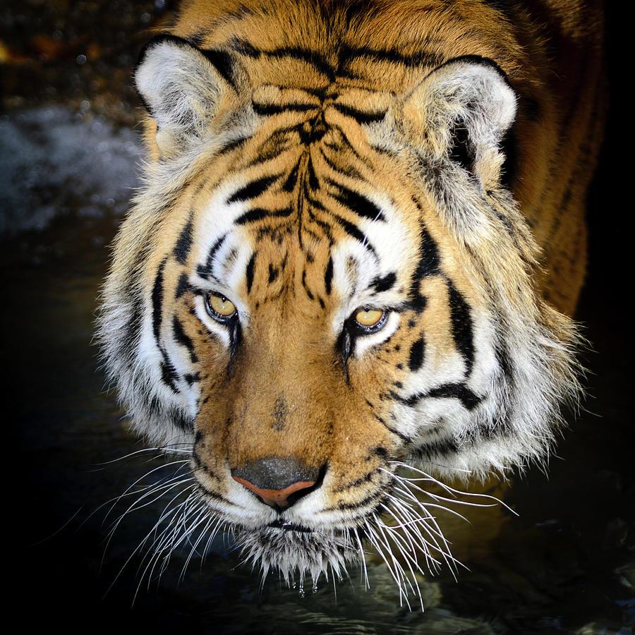 Bengal Tiger Panthera Tigris Tigris Photograph by Elementalimaging